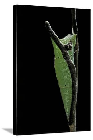 Graphium Stratocles (Swallowtail Butterfly) - Pupa-Paul Starosta-Stretched Canvas Print