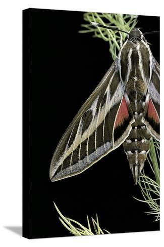 Hyles Lineata (White-Lined Sphinx, Hummingbird Moth)-Paul Starosta-Stretched Canvas Print