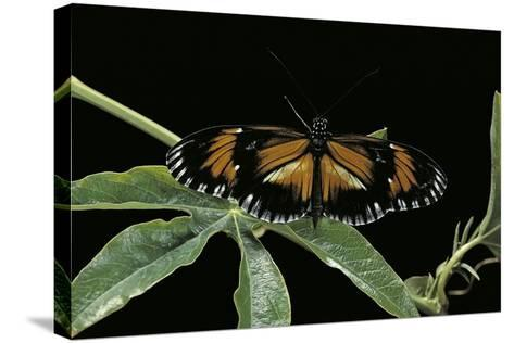 Heliconius Atthis Male X Heliconius Hecale Female X Heliconius Melpomene Female (Longwing Butterfly-Paul Starosta-Stretched Canvas Print