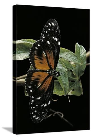 Heliconius Atthis Male X Heliconius Hecale Female (Longwing Butterfly)-Paul Starosta-Stretched Canvas Print