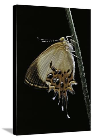 Helicopis Cupido (Cupido Metalmark Butterfly) - Female-Paul Starosta-Stretched Canvas Print