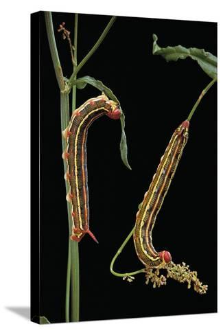 Hyles Lineata (White-Lined Sphinx, Hummingbird Moth) - Caterpillars-Paul Starosta-Stretched Canvas Print