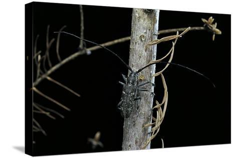 Monochamus Sartor (Sakhalin Pine Beetle)-Paul Starosta-Stretched Canvas Print