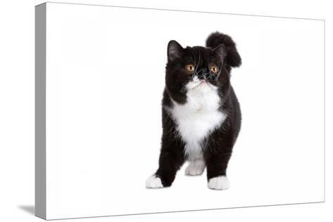 Exotic Cat-Fabio Petroni-Stretched Canvas Print