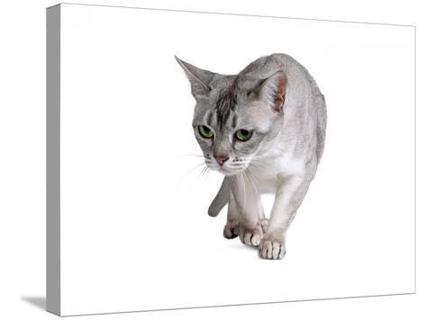 Burmilla Cat-Fabio Petroni-Stretched Canvas Print