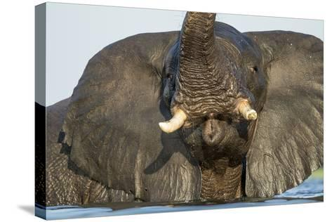 African Elephant in Chobe River, Chobe National Park, Botswana-Paul Souders-Stretched Canvas Print