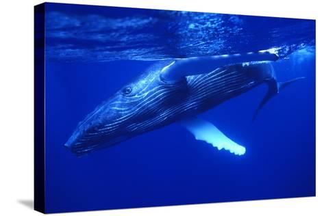 Humpback Whale Swimming Underwater-DLILLC-Stretched Canvas Print