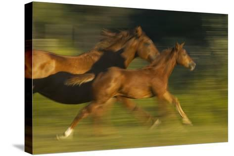 Mare Running with Colt-DLILLC-Stretched Canvas Print