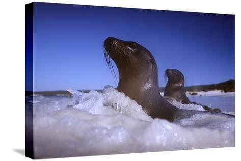 Sea Lions amidst Surf-DLILLC-Stretched Canvas Print