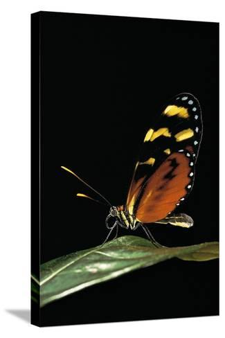 Mechanitis Polymnia (Orange-Spotted Tiger Clearwing)-Paul Starosta-Stretched Canvas Print