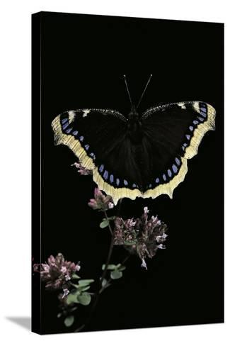 Nymphalis Antiopa (Mourning Cloak Butterfly, Camberwell Beauty)-Paul Starosta-Stretched Canvas Print
