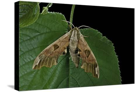 Mimas Tiliae (Lime Hawk Moth)-Paul Starosta-Stretched Canvas Print