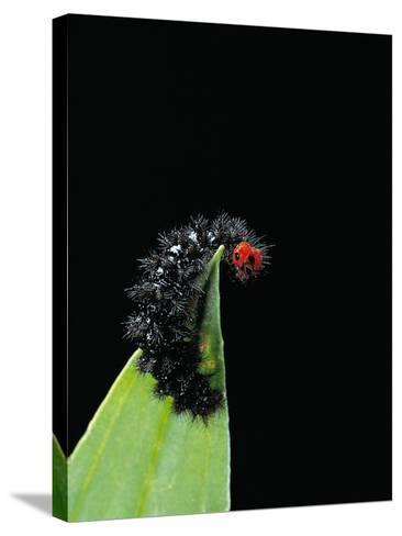 Melitaea Cinxia (Glanville Fritillary) - Black Spiny Caterpillar-Paul Starosta-Stretched Canvas Print