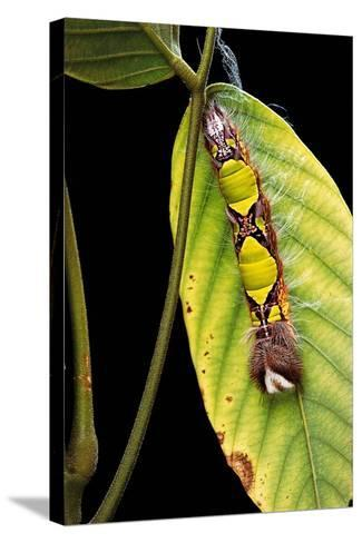 Morpho Menelaus (Menelaus Blue Morpho) - Caterpillar-Paul Starosta-Stretched Canvas Print