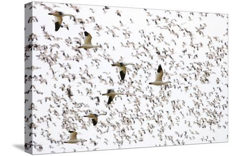 Geese Flying in Formation-DLILLC-Stretched Canvas Print