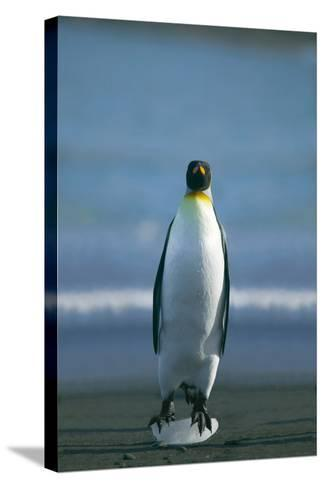 King Penguin Cooling Feet-DLILLC-Stretched Canvas Print