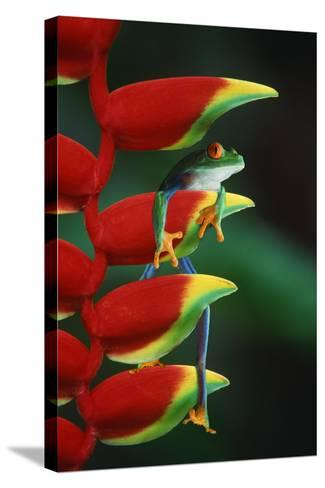 Red Eyed Tree Frog Climbing Plant-DLILLC-Stretched Canvas Print