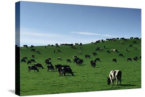 Herd of Dairy Cows Grazing-Jon Hicks-Stretched Canvas Print