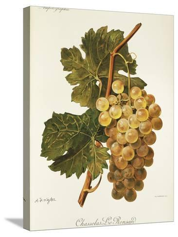 Chasselas Le Ronsard Grape-A. Kreyder-Stretched Canvas Print