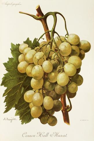 Cannon Hall Muscat Grape-A. Kreyder-Stretched Canvas Print