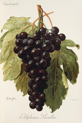 Alphonse Lavallee Grape-A. Kreyder-Stretched Canvas Print