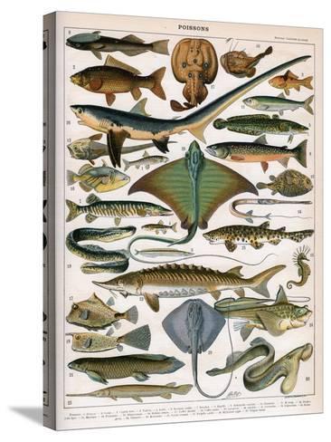 Illustration of Ocean Fish, C.1905-10-Alillot-Stretched Canvas Print