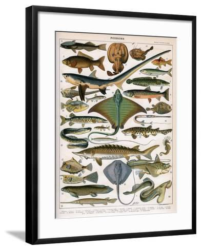 Illustration of Ocean Fish, C.1905-10-Alillot-Framed Art Print