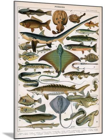 Illustration of Ocean Fish, C.1905-10-Alillot-Mounted Giclee Print