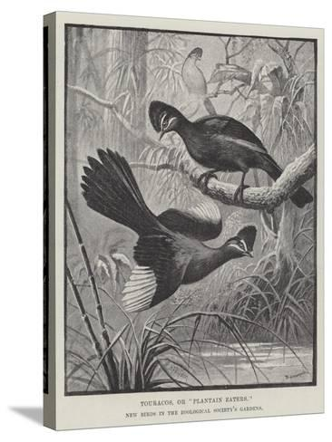 Touracos, or Plantain Eaters, New Birds in the Zoological Society's Gardens-Alexander Francis Lydon-Stretched Canvas Print