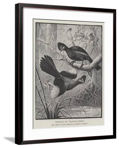 Touracos, or Plantain Eaters, New Birds in the Zoological Society's Gardens-Alexander Francis Lydon-Framed Art Print