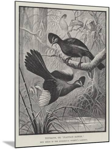Touracos, or Plantain Eaters, New Birds in the Zoological Society's Gardens-Alexander Francis Lydon-Mounted Giclee Print