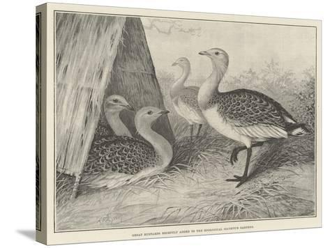Great Bustards Recently Added to the Zoological Society's Gardens-Alexander Francis Lydon-Stretched Canvas Print