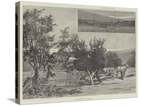 Fruit-Gathering in California-Charles Auguste Loye-Stretched Canvas Print