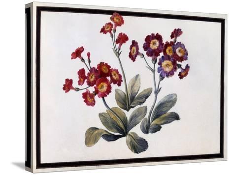 Auricula, C.1690-Claude Aubriet-Stretched Canvas Print