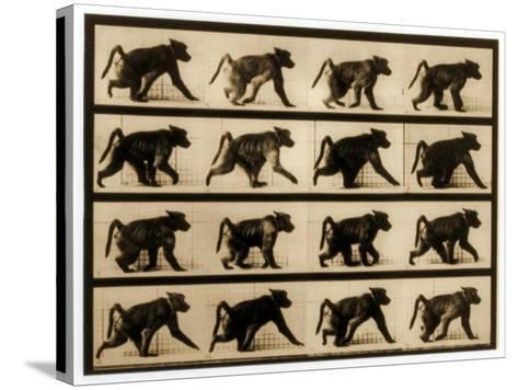 Image Sequence of a Baboon Running, 'Animal Locomotion' Series, C.1887-Eadweard Muybridge-Stretched Canvas Print
