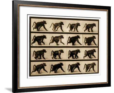 Image Sequence of a Baboon Running, 'Animal Locomotion' Series, C.1887-Eadweard Muybridge-Framed Art Print