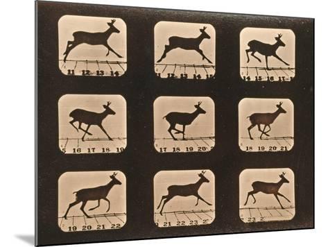 Image Sequence of a Running Deer, 'Animal Locomotion' Series, C.1881-Eadweard Muybridge-Mounted Giclee Print