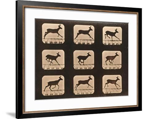 Image Sequence of a Running Deer, 'Animal Locomotion' Series, C.1881-Eadweard Muybridge-Framed Art Print