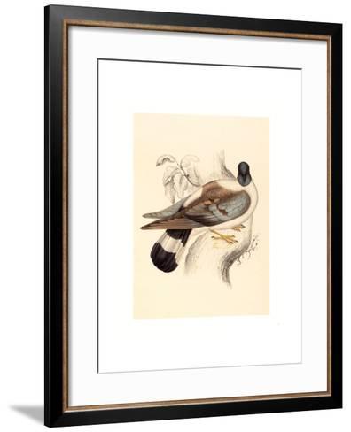 Columba Leuconota (Snow Pigeon), Colored Lithograph-Elizabeth Gould-Framed Art Print