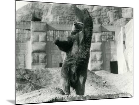 A Brown Bear Stands Upright on its Hind Legs-Frederick William Bond-Mounted Photographic Print