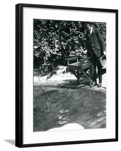 A Gentoo Penguin Dives after Fish That the Keeper Has Just Thrown into its Pool-Frederick William Bond-Framed Art Print