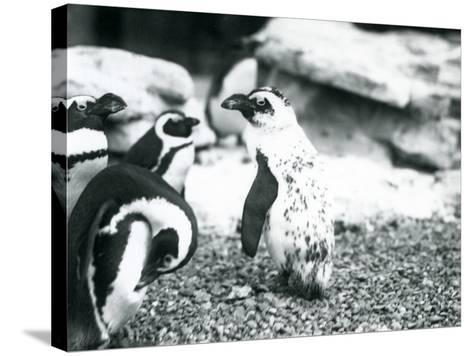 A Small Group of Black-Footed Penguins-Frederick William Bond-Stretched Canvas Print