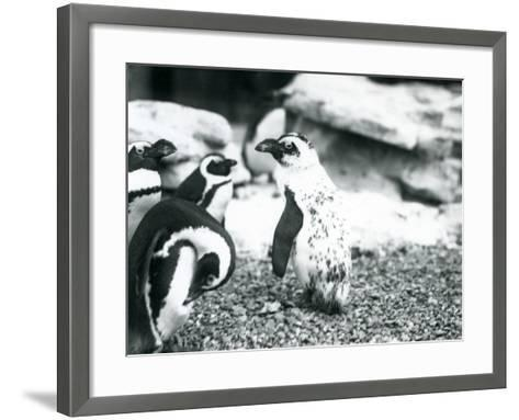 A Small Group of Black-Footed Penguins-Frederick William Bond-Framed Art Print
