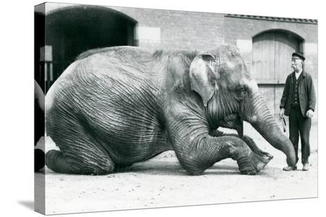 Female Indian Elephant 'Suffa Culli'-Frederick William Bond-Stretched Canvas Print