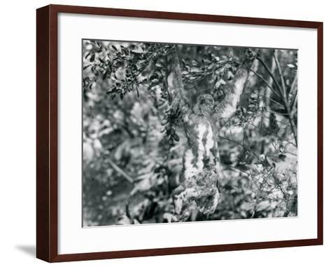 A Three-Toed Sloth Hanging from a Leafy Branch at London Zoo. August 1920-Frederick William Bond-Framed Art Print