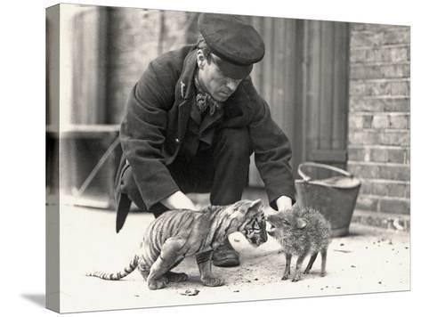 Keeper, H. Warwick, with a Tiger Cub and a Peccary, Taken at Zsl London Zoo, May 1914-Frederick William Bond-Stretched Canvas Print