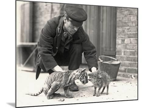 Keeper, H. Warwick, with a Tiger Cub and a Peccary, Taken at Zsl London Zoo, May 1914-Frederick William Bond-Mounted Photographic Print