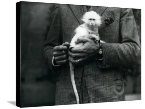 An Albino Old World Monkey, Genus Ceropithecus, Being Held at London Zoo, July 1922-Frederick William Bond-Stretched Canvas Print