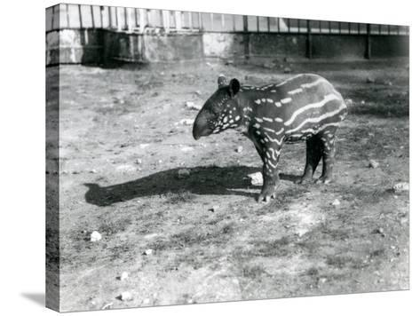 A Young Malayan Tapir at London Zoo, 5th October 1921-Frederick William Bond-Stretched Canvas Print