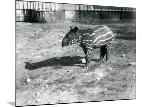 A Young Malayan Tapir at London Zoo, 5th October 1921-Frederick William Bond-Mounted Photographic Print